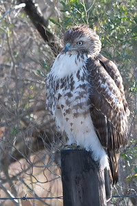 01252018_AnahuacNWR_Juv_Red-tailed_hawk_Perched_500_4088