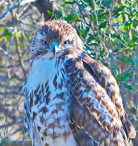 01252018_Anahuac_NWR_Red-tailed_Hawk_Juv_Perched_500_4195
