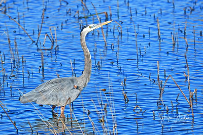 01252018_AnahuacNWR_Great_Blue_heron_Standing_Water_500_4096