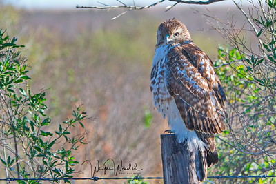 01252018_AnahuacNWR_Juv_Red-tailed_Hawk_Perched_500_4092