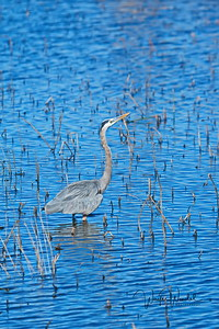 01252018_AnahuacNWR_Geat_Blue_Heron_Vertical_500_4097