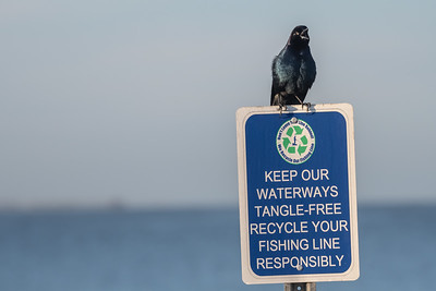 Birds on Signs (Grackle)