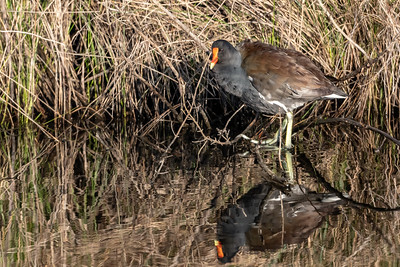 Moor Hen Reflection
