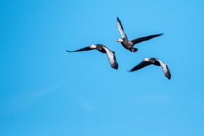 Three Dark Phase Snow Geese