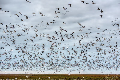 20190108_AnahuacNWR_Snow_Geese_Flight_Overhead_750_9723a_filtered