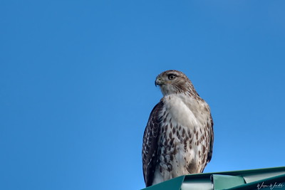 20190108_AnahuacNWR_Red-tailed_Hawk_Perched_Visitor_Roof_500_1090+Signature
