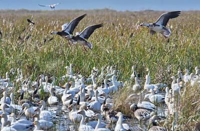 3 Geese Landing