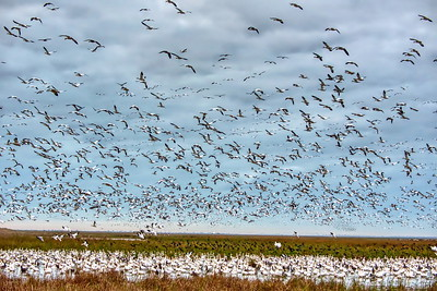 20190108_AnahuacNWR_Frozen_Pt_Rd_Snow_Geese_750_9726_NI