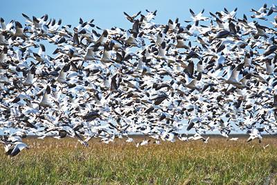 Goose Panic Flight