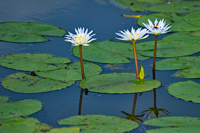 AnahuacNWR_July2014_3-Lilly-Flowers_DSC0784