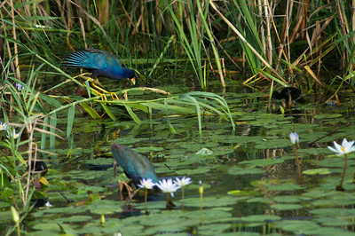 AnahuacNWR_July2014_Purple_gallinule_DSC0781