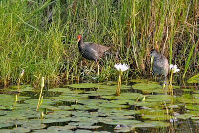 Common Gallinule and Chick