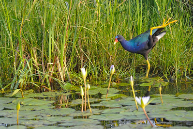 AnahuacNWR_July2014_Purple-gallinule_DSC0501