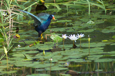 AnahuacNWR_July2014_Purple_gallinule_DSC0759