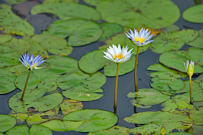 AnahuacNWR_July2014_3_Water_Lillies_DSC0787