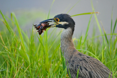 AnahuacNWR_July2014_BCNHeron_Eating_crawfish_DSC0424
