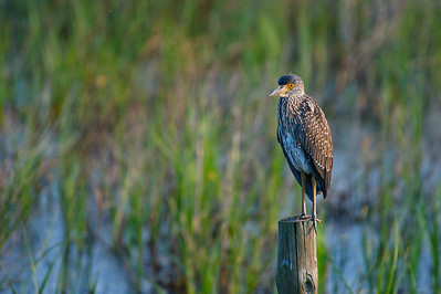 Yellow-crowned Night Heron (Juv)