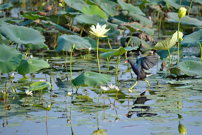 AnahuacNWR_July2014_Purple_gallinule_DSC0567