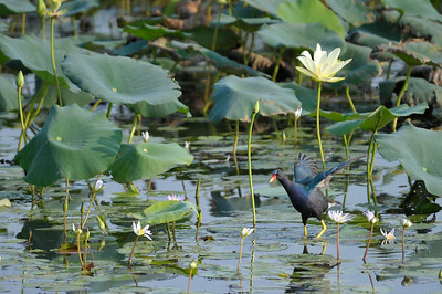 AnahuacNWR_July2014_Purple_gallinule_DSC0591