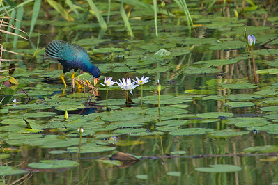 AnahuacNWR_July2014_Purple_gallinule_DSC0746