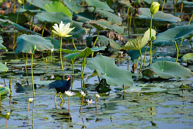 AnahuacNWR_July2014_Purple_gallinule_DSC0578