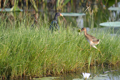 AnahuacNWR_July2014_Moorhen_chick_leaf_DSC0539