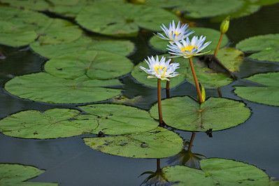 AnahuacNWR_July2014_3-Lillies_DSC0789