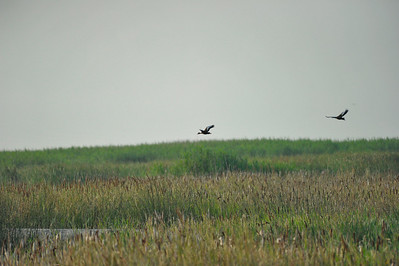 AnahuacNWR_July2014_Flying_Ducks_DSC0409