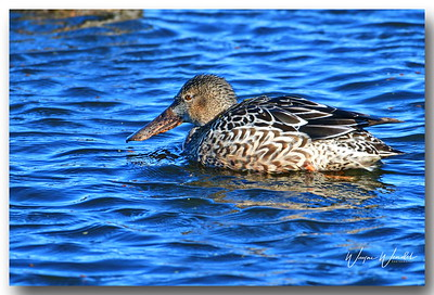 12122017_Anahuac_NWR_Northern_Shoveler-Female_500_3307