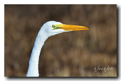 12122017_AnahuacNWR_Great_egret_Head-shot_500_3130_filtered