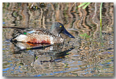 12122017_Anahuac_NWR_Northern_Shoveler_Female_500_3334