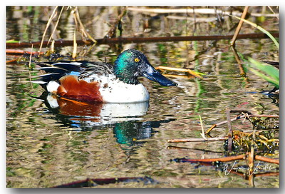 12122017_Anahuac_NWR_Northern_Shoveler_Male_500_3328