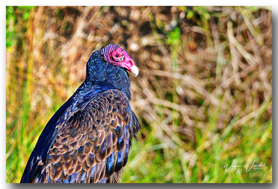12122017_Anahuac_NWR_Turkey_Vulture_500_3280_filtered