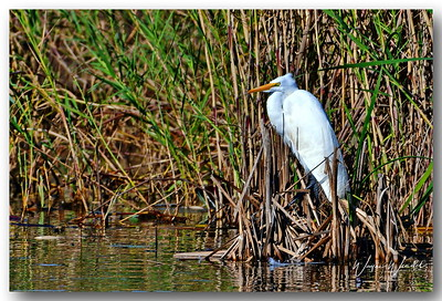12122017_Anahuac_NWR_Great_Egret_500_3340
