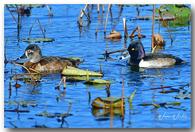 12122017_Anahuac_NWR_Am_Scaup_Pair_500_3319