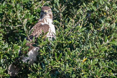 Red-tailed Hawk in the Tree