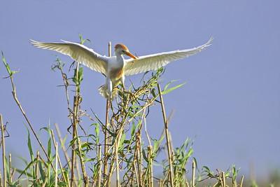 Cattle Egret Nest Building