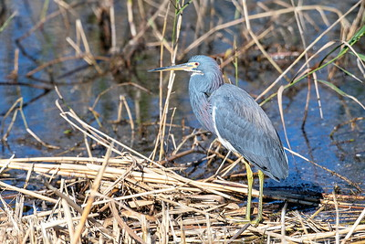 20181221_AnahuacNWR_Tri-colored_Heron_Standing_500_4546