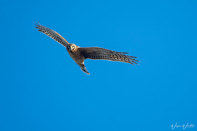 Northern Harrier Looking