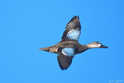20181221_Cattail_Marsh_Blue-winged_Teal_In-Flight_500_4428a