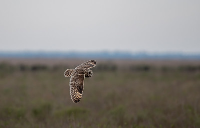 20190218_AnahuacNWR_Short-eared_Owl_Flight_500_0094