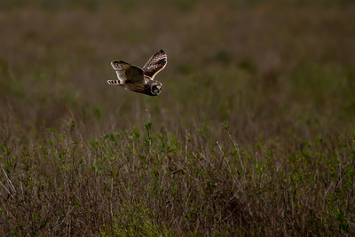 20190218_AnahuacNWR_Short-eared_Owl_Flight_500_0099