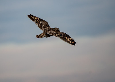 20190218_AnahuacNWR_Short-eared_Owl_Flight_500_0092
