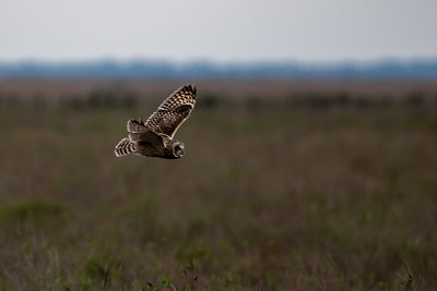 20190218_AnahuacNWR_Short-eared_Owl_Flight_500_0096