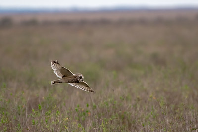 20190218_AnahuacNWR_Short-eared_Owl_Flight_500_0103