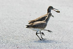 Willet Crab Competition
