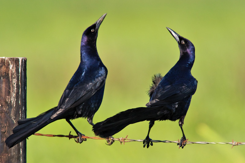 Great Tailed Grackles
