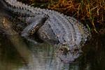 Alligator Funky WAves