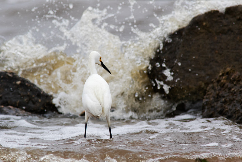 Intrepid Snowy Egret At Frozen Point