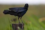 American Black Crow